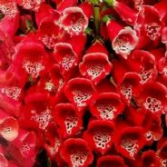 Foxglove Red Dwarf Appx 300 seeds - Digitalis pupurea